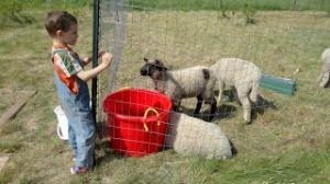 sheep_DSC02339